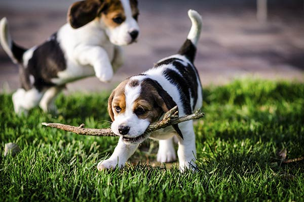 600_puppies-playing-with-stick.jpg